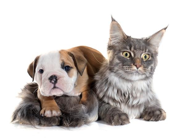 子犬英語ブルドッグと猫 Premium写真