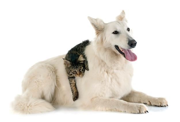 スイス羊飼いと猫 Premium写真