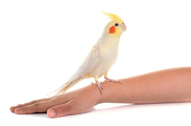 オカメインコ鳥 Premium写真