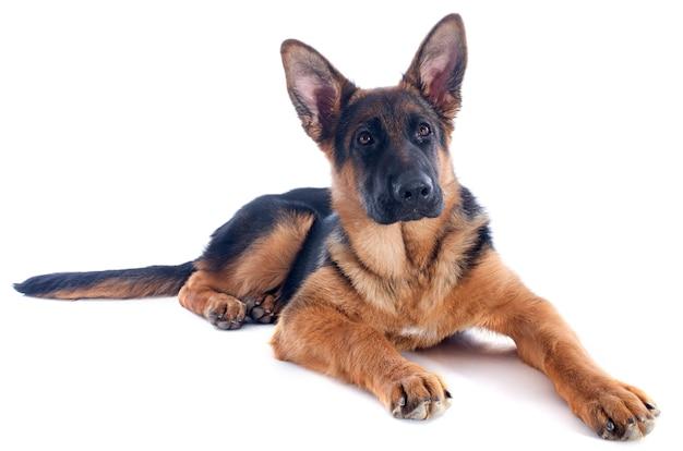 子犬ドイツ羊飼い Premium写真