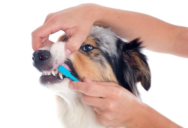 オーストラリアンシェパードと歯ブラシ Premium写真