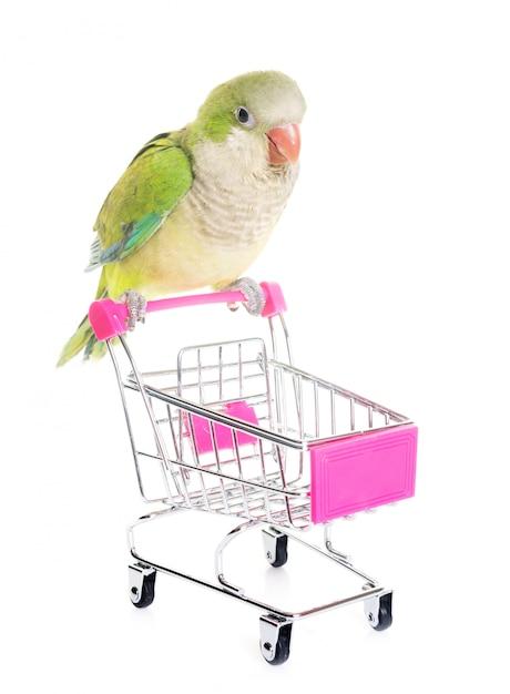 Монах-попугай в студии Premium Фотографии
