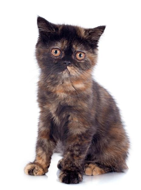 エキゾチックショートヘア子猫 Premium写真