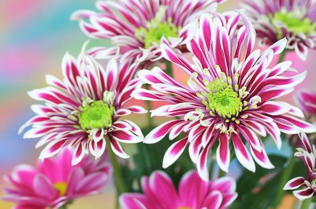 Крупный план хризантемы Premium Фотографии