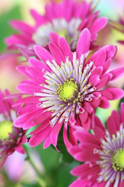 Крупный цветок хризантемы Premium Фотографии