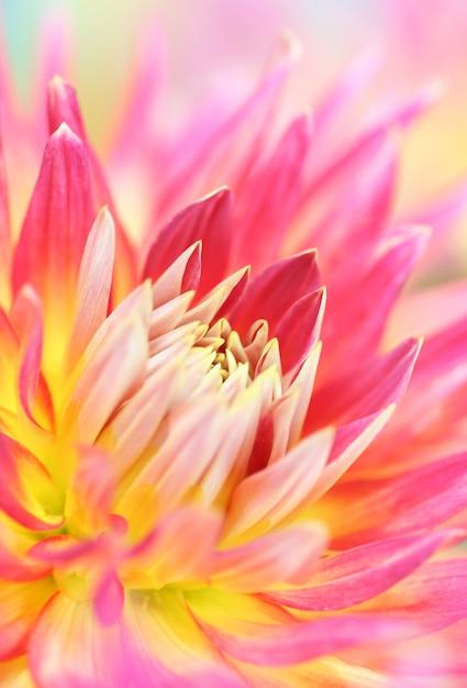ダリアの花のクローズアップ Premium写真