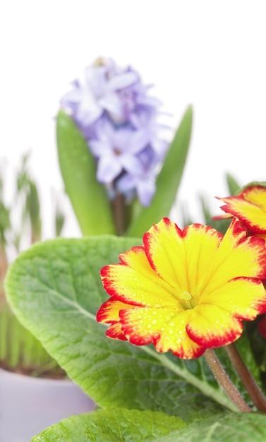 春の花、ヒヤシンス、黄色のプリムラ、白で隔離 Premium写真