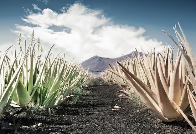 アロエベラ畑 Premium写真
