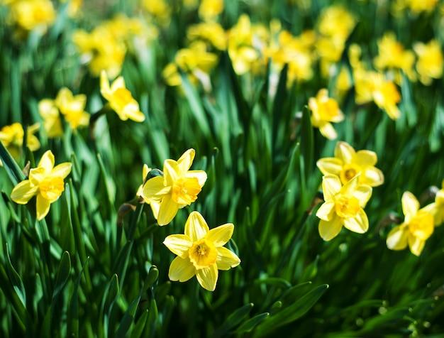 美しい黄色い水仙水仙 Premium写真