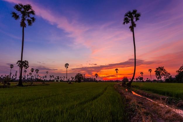 タイのパトゥムターニーの夕暮れの田んぼとヤシの木 Premium写真
