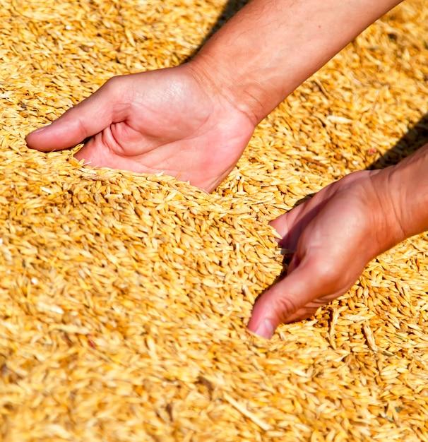 農家の手が小麦の収穫を守る Premium写真