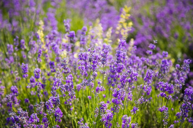 日没のラベンダー茂みのクローズアップ。ラベンダーの紫色の花の上の夕焼け。 Premium写真