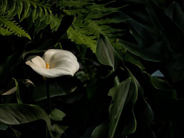 美しいオランダカイウユリ、白い花と緑の葉 Premium写真