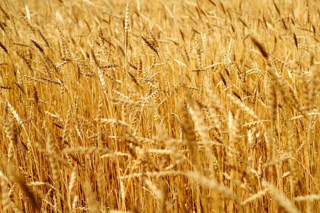 熟した小麦の黄金の耳セレクティブフォーカス自然農業背景 Premium写真