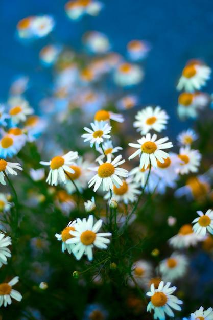 Цветущие цветы ромашки размыты синий фон Premium Фотографии