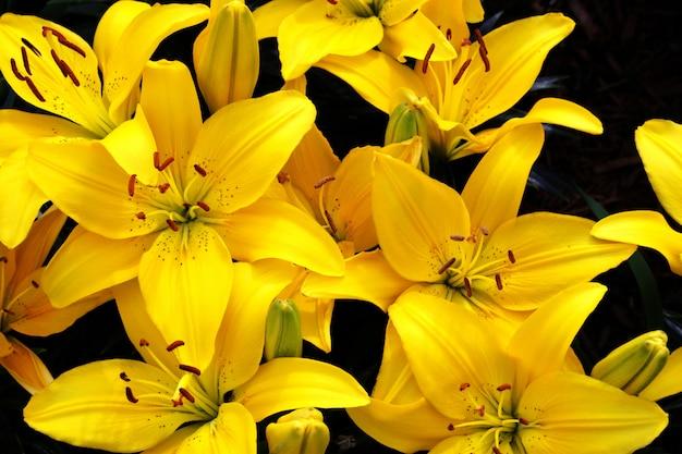美しい黄色いユリ Premium写真