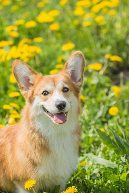 緑の芝生に座っているウェールズのコグリの赤い犬 Premium写真
