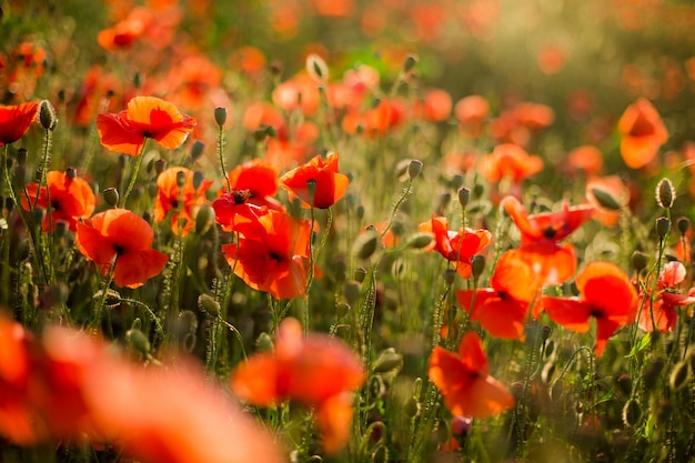 ケシ畑のクローズアップ、夕日に咲く野生の花。赤い緑の背景、空白、ソフトフォーカスの壁紙。 Premium写真