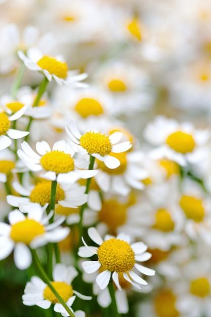 Цветы ромашки в макро. красота дикой ромашки крупным планом Premium Фотографии