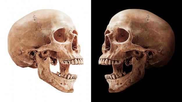 分離された人間の頭蓋骨 Premium写真