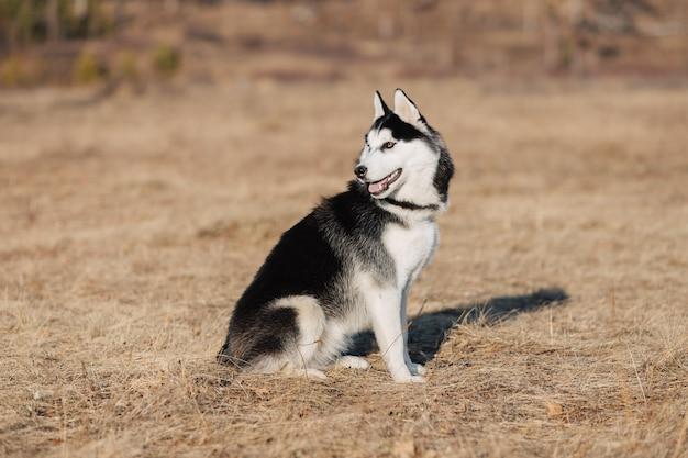 ハスキー。犬は自然の中を歩きます。秋の風景。黄色の乾燥した芝生。 Premium写真