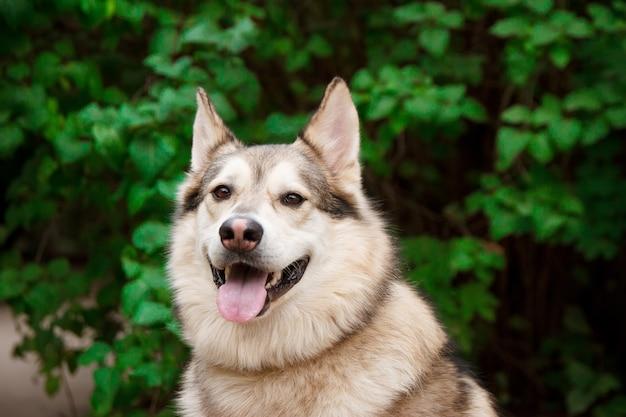 緑の葉に幸せなハスキーの肖像画 Premium写真