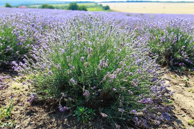 Большое яркое красивое поле со свежей лавандой, лавандовое поле Premium Фотографии