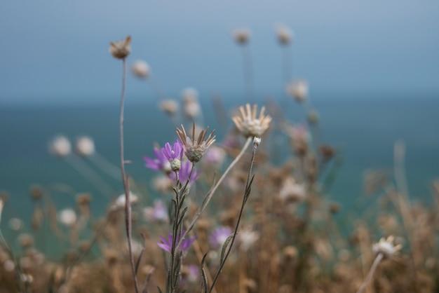 花の不滅は海の上の崖の上で成長します。 Premium写真