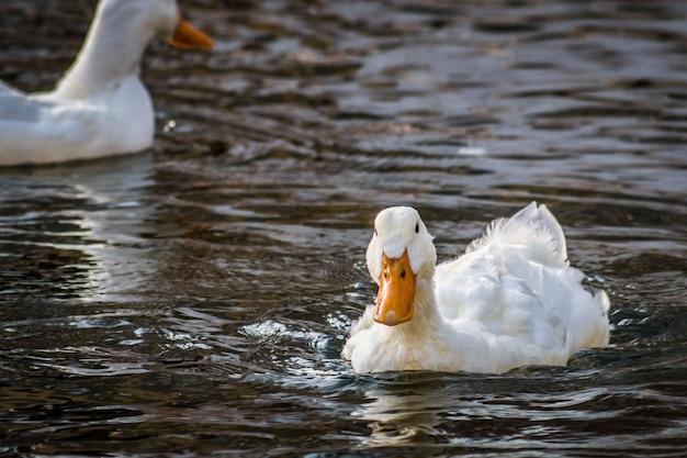 Белая утка плавает в пруду, крупный план Premium Фотографии