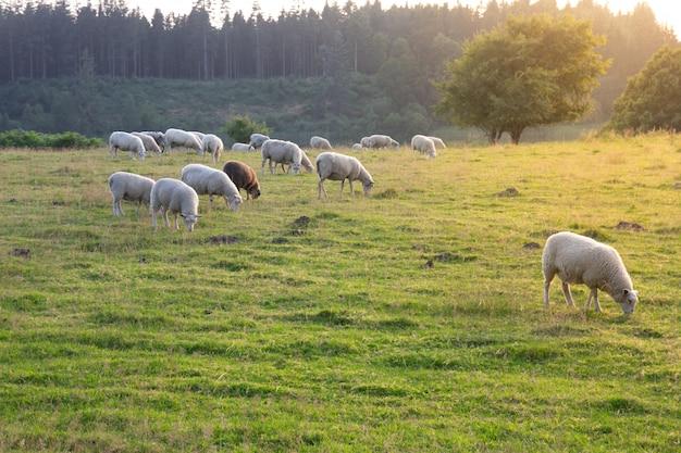 羊グループと緑の芝生と牧草地の子羊 Premium写真