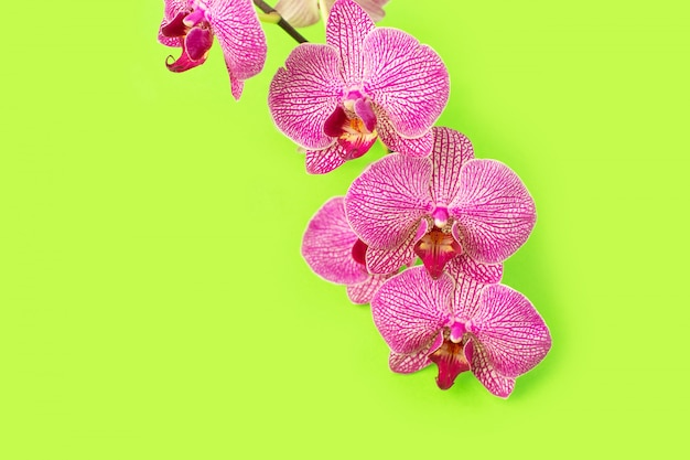 Красивая нежная голова цветка орхидеи на стене цвета. Premium Фотографии