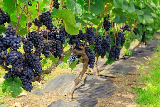 ぶどう畑のつるに紫色のブドウの房。新鮮な熟したジューシーなブドウ Premium写真