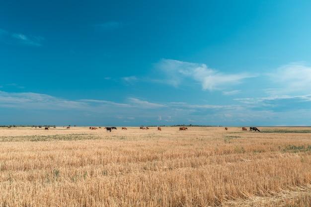 黄色のフィールドと青い空の牛。 Premium写真