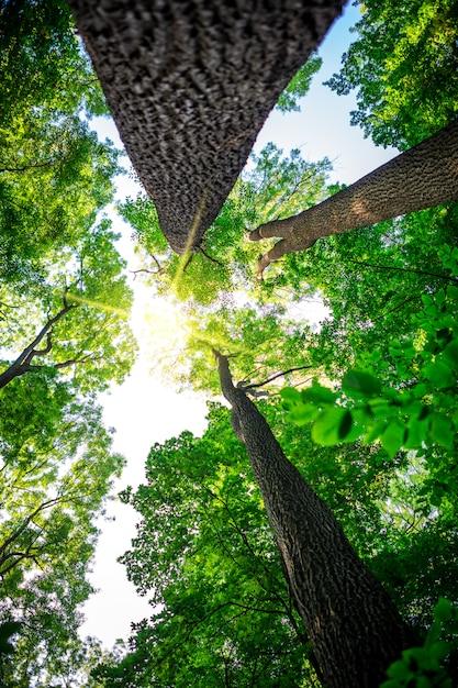 Лесные деревья. природа зеленое дерево солнечный свет Premium Фотографии