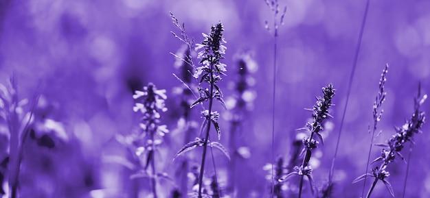 Цветы лаванды ультрафиолетовых тонов. фиолетовое лавандовое поле с мягким световым эффектом для вашего цветочного фона Premium Фотографии