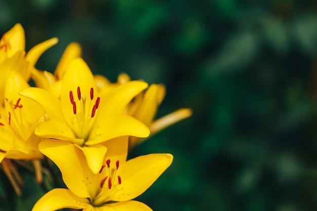 夏の庭の鮮やかな黄色のユリ Premium写真