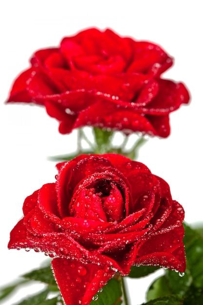 水滴と赤いバラ Premium写真
