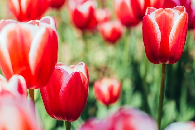 美しい花束と赤いチューリップ。 Premium写真