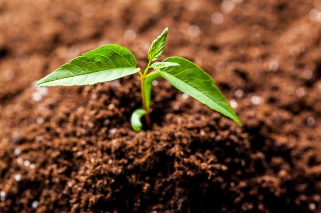 栽培農業農場分野で成長している若いグリーンコーン苗もやし Premium写真