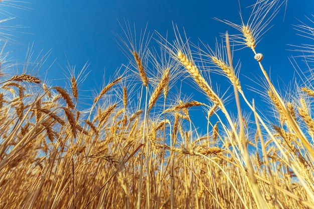 Золотое пшеничное поле и солнечный день Premium Фотографии