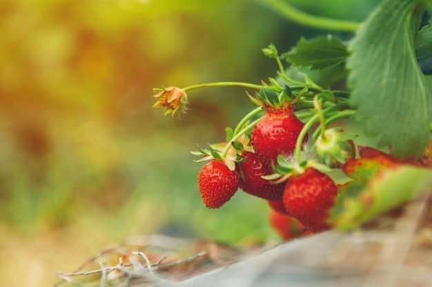 Клубника на клубничном растении крупным планом в утреннем свете Premium Фотографии
