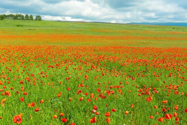 フィールドの背景に赤いケシの花 Premium写真