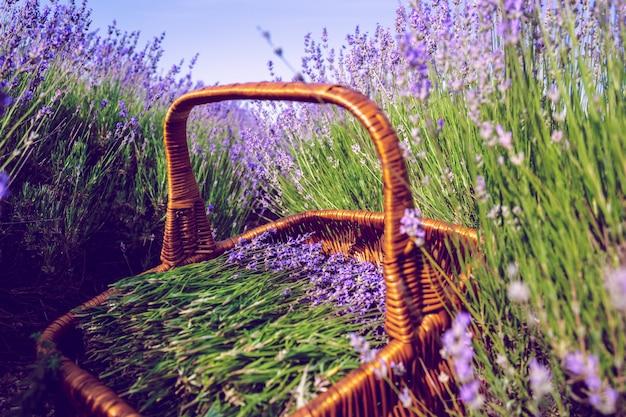 Корзина с лавандой в поле Premium Фотографии