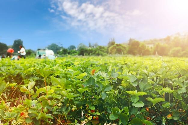 Клубничные кусты на клубничном поле в ферме Premium Фотографии