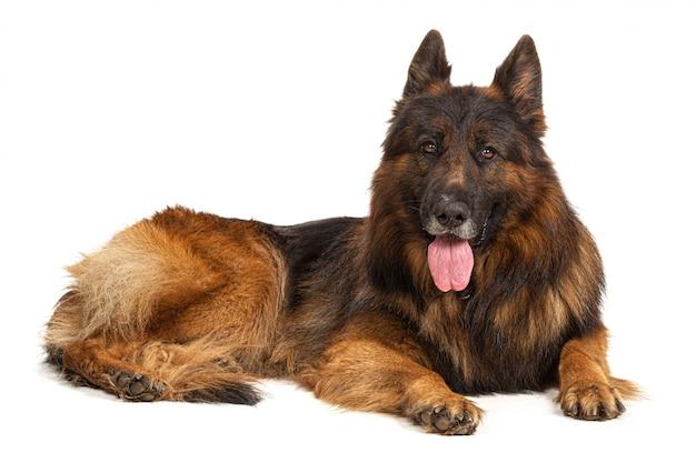 白い背景に分離されたジャーマン・シェパード犬の肖像画 Premium写真