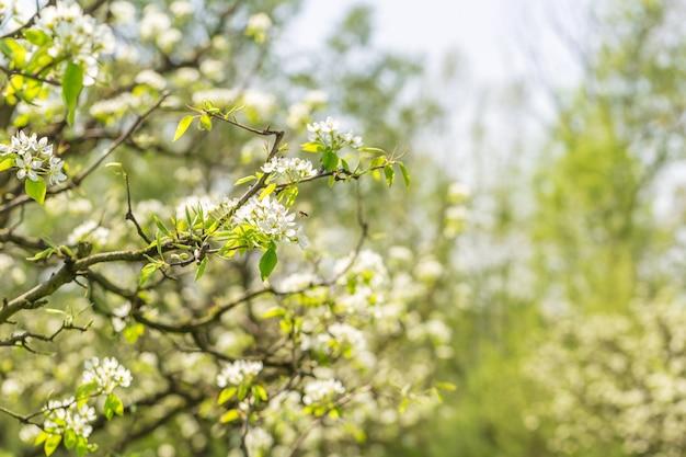 Яблоневый сад с цветущими деревьями Premium Фотографии