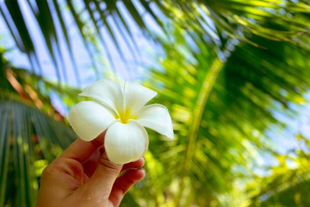 女性の手にフランジパニの花 Premium写真