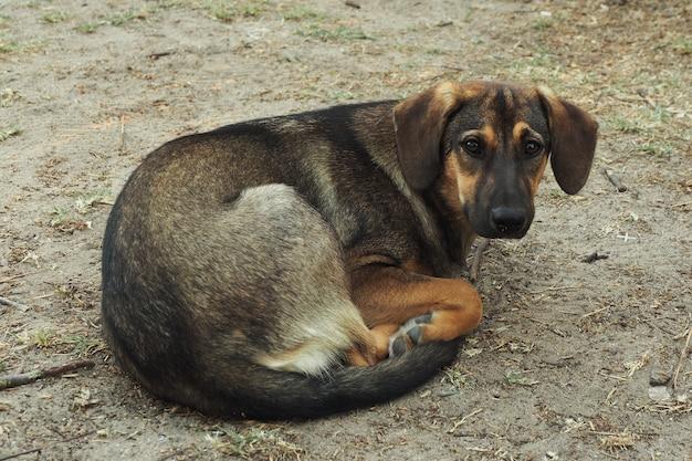 細くて悲しい野良犬は、丸くなって地面に横たわっています。 Premium写真