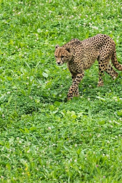 草の上の孤独な野生のチーター Premium写真