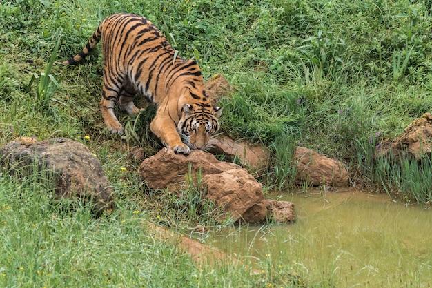 Тигр на зеленой траве Premium Фотографии